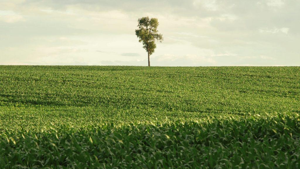Grünes Feld. An der Grenze zum Horizont ein mittig stehender Baum