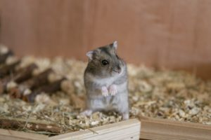 Foto eines Hamsters