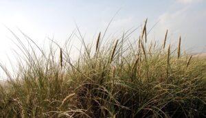Logo: Gräser an der Nordsee